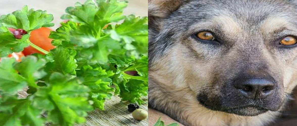 Зять «на шухері», теща — в буді для пса: так в Польщі крадуть петрушку на кордоні