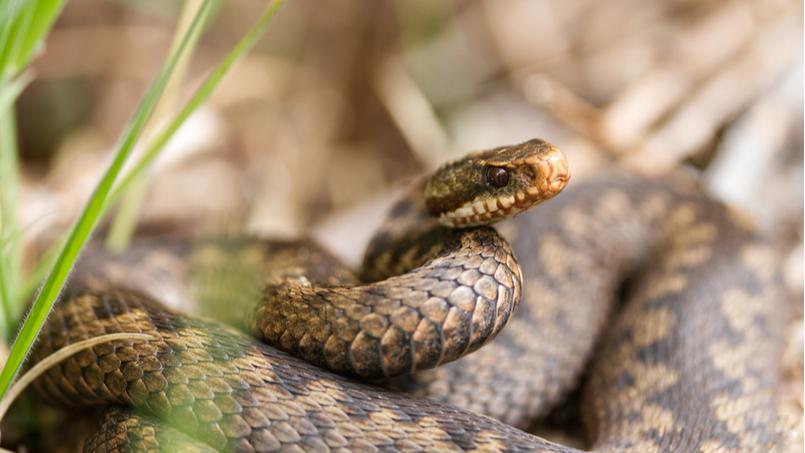 На Прикарпатті хлопчик потрапив у лікарню через укус змії