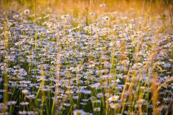 25 гектарів краси і ніжності: на Прикарпатті зацвіло ромашкове поле. Фото