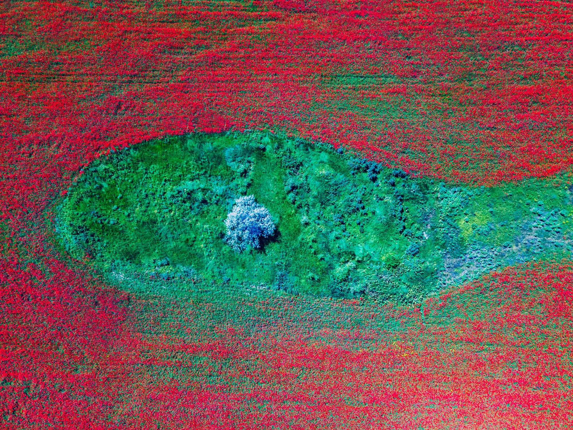 На Одещині розквітли макові поля. Фото